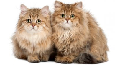 Photo of Il blocco urinario dei gatti